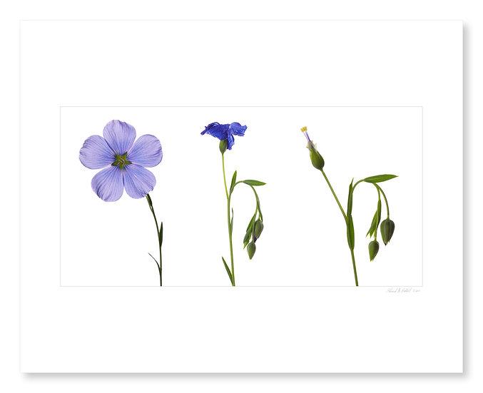 Blue Flax Triptych