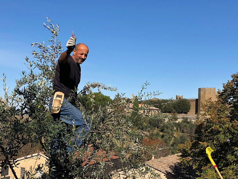 Picking olives, Montalcino, Italy