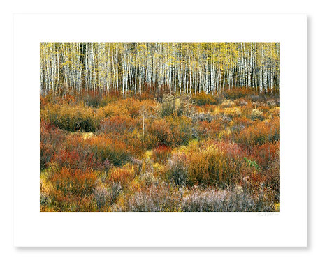 Willows and Aspens