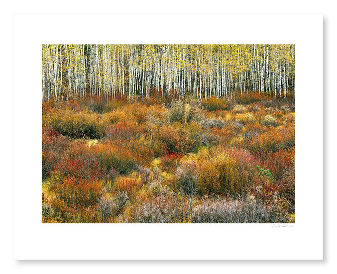 Willows & Aspens