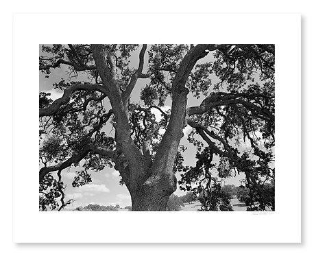 Spreading Oak Branches
