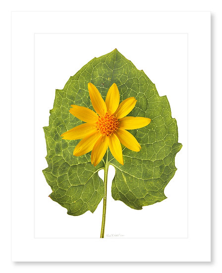 Heart-Leafed Arnica