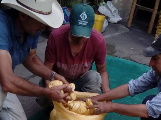 Más de 80 toneladas de arracacha dejaron de salir de Cajamarca, Tolima