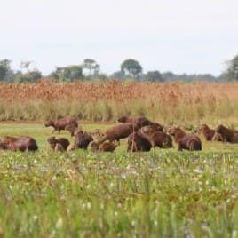 fauna do pantanal em coxim