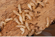 termite-crawling-on-wood_536x364.png