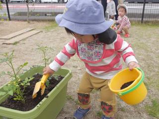 プランター栽培🍅✨ オレンジ組1歳児