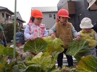 キャベツ収穫(*^^*)