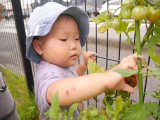 収穫第二弾🍅 オレンジ組1歳児
