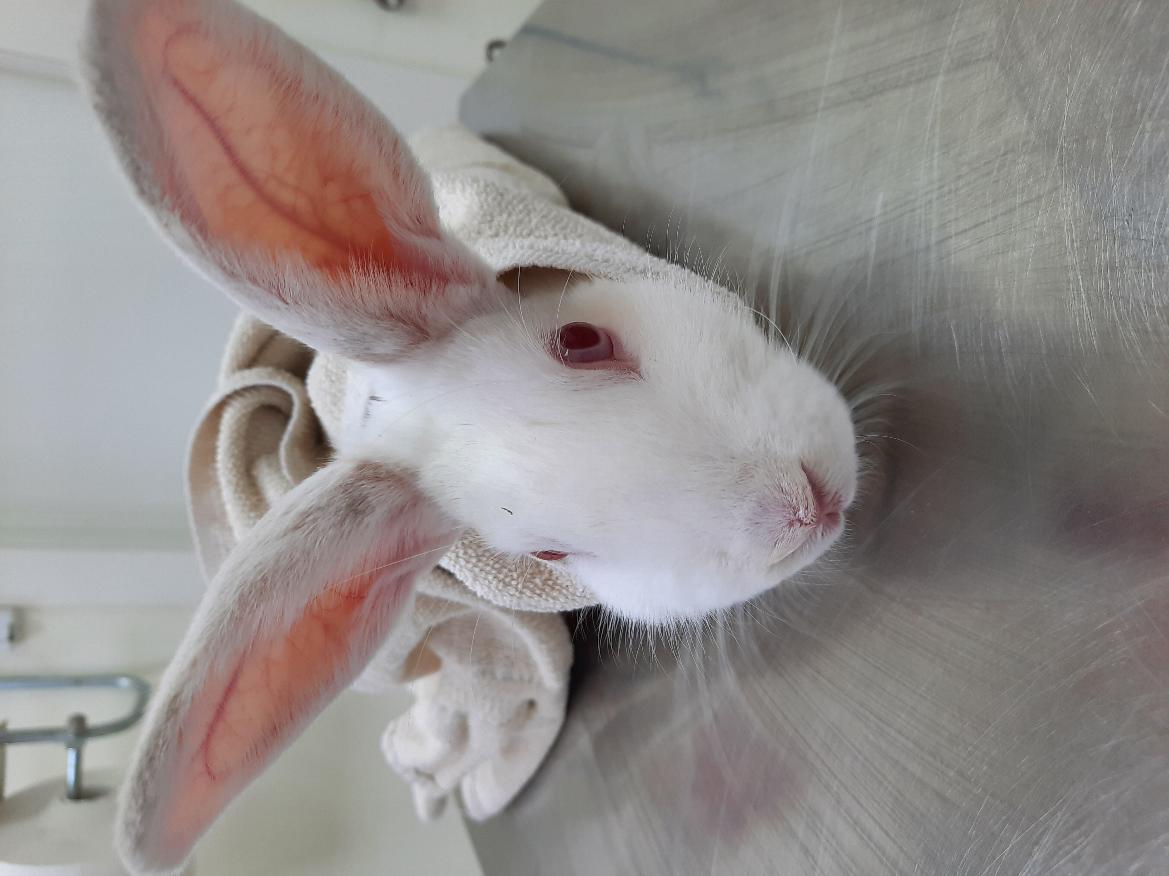ארנבת לבקנית