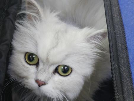 כדורי שיער אצל חתולים - תופעה נורמלית או בעיה?
