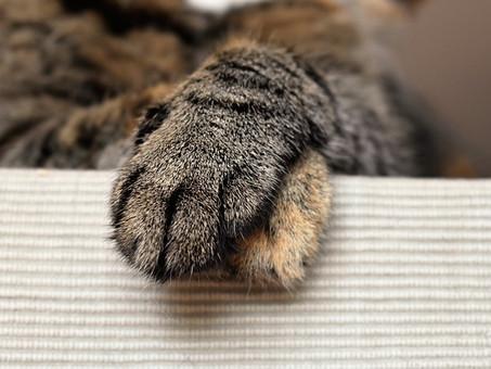 שריטת חתול - האם יש סכנה?