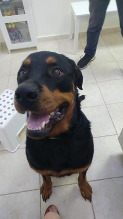 כלב רוטווילר