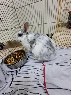ארנבון מצוי
