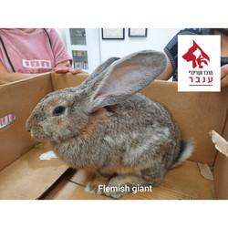 flemish giant rabbit_edited