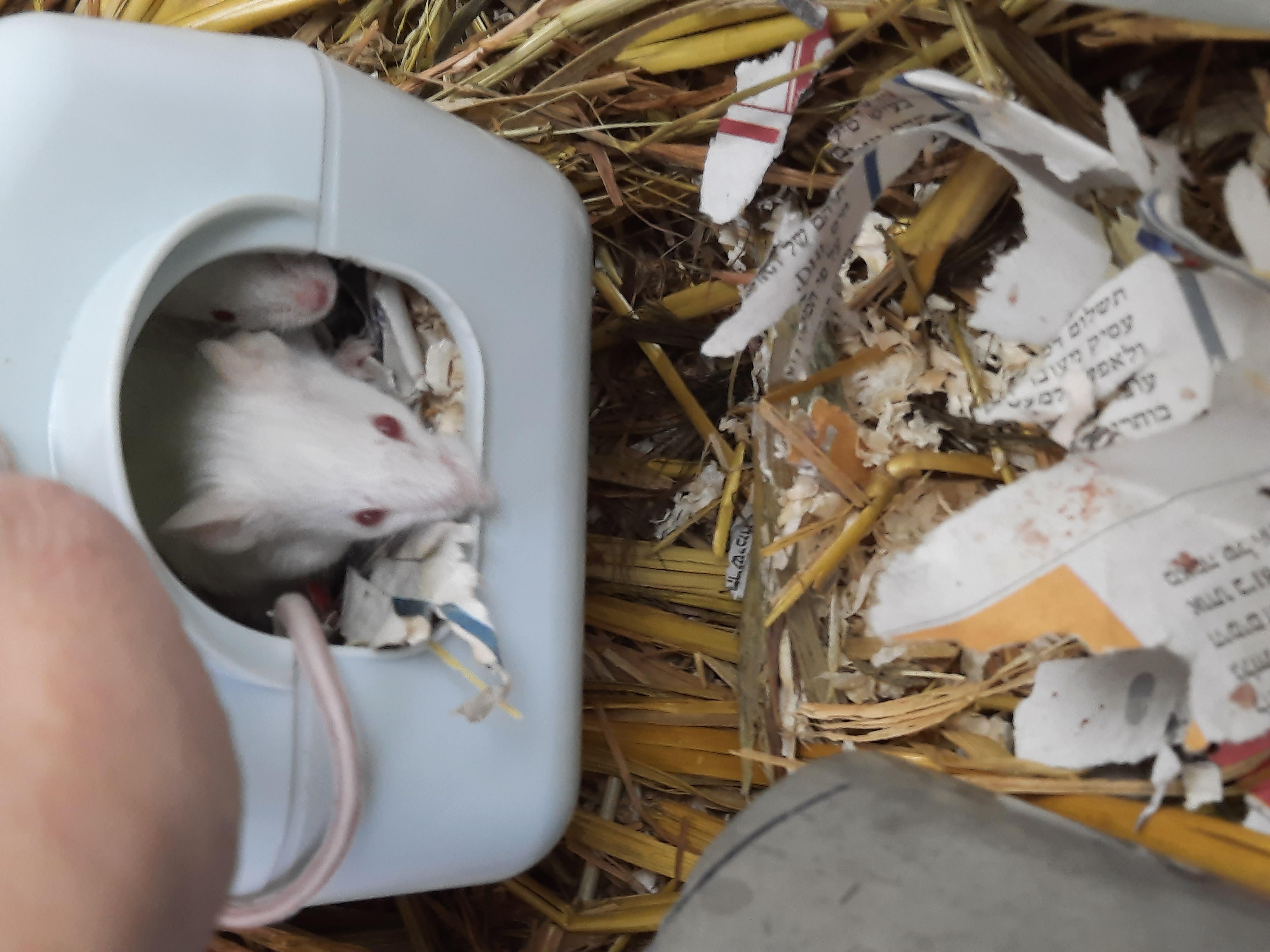 עכבר לבן