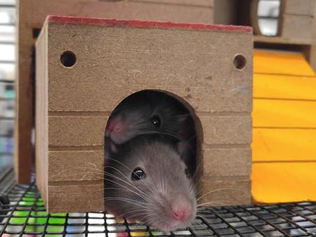 מחלת העכברת (לפטוספירוזיס) בכלבים
