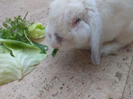 אבצס בארנב