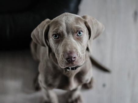 סירוס כלב