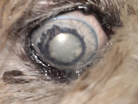 מדוע הכלב שלי לא רואה טוב. קטרקט בכלבים