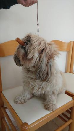 כלבת שיצו