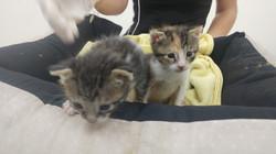 גורי חתולים