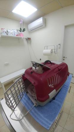 חתולה