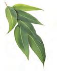 ecalyptus 1.png