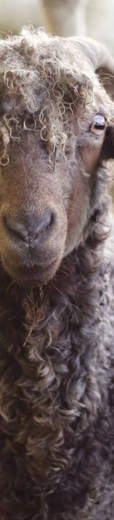 Goat%20and%20Alpacas%20(Jack)_edited.jpg