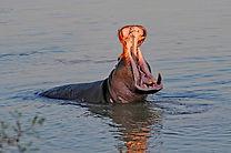 Zambia, South Luangwa National Park, Hippo, Wildlife, Travel, Tourism,