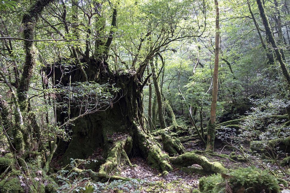 KODAMA ESPRIT DE L'ARBRE FREDERIC LEYRE PHOTO NATURE FOREST JAPAN YAKUSHIMA