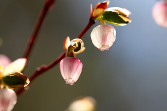 Wild Blueberry Flowers