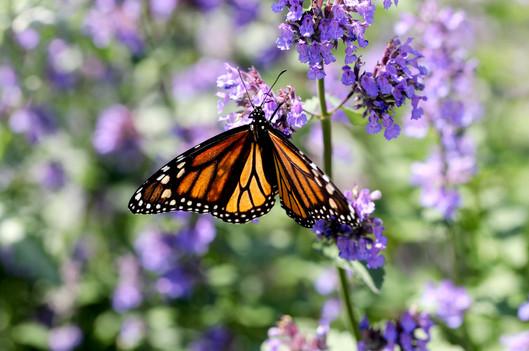 Monarch Butterfly on Catnip Flowers