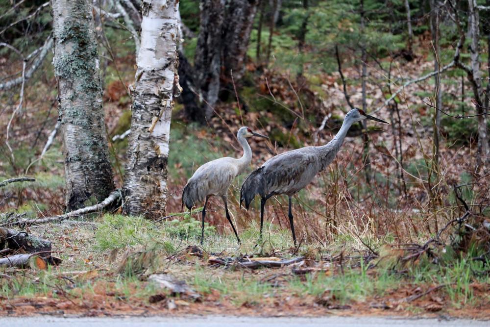 Sandhill Crane Mates