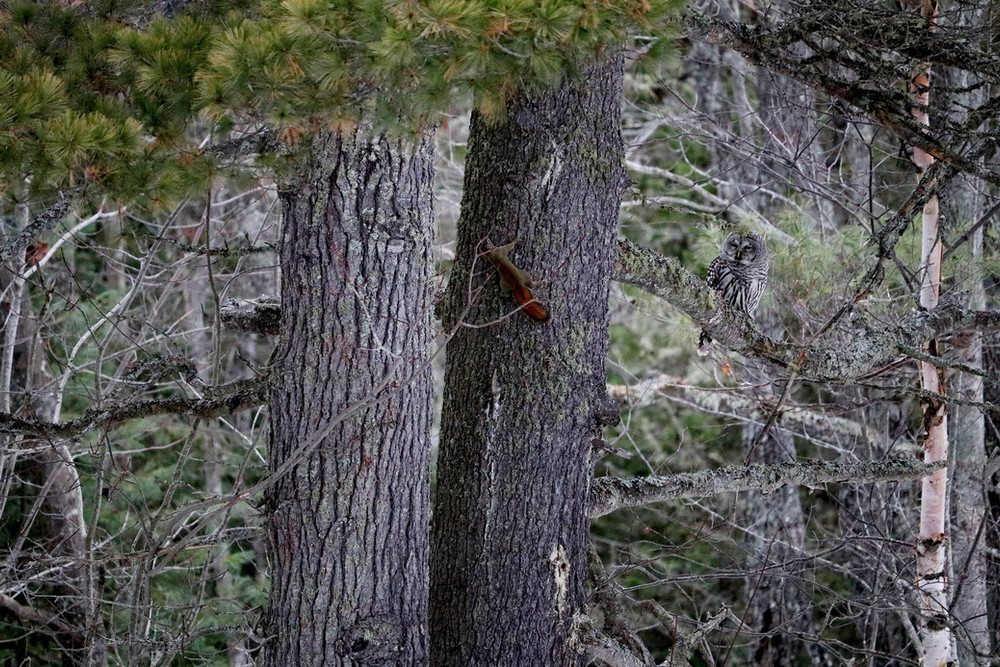 Barred Owl and Red Squirrel