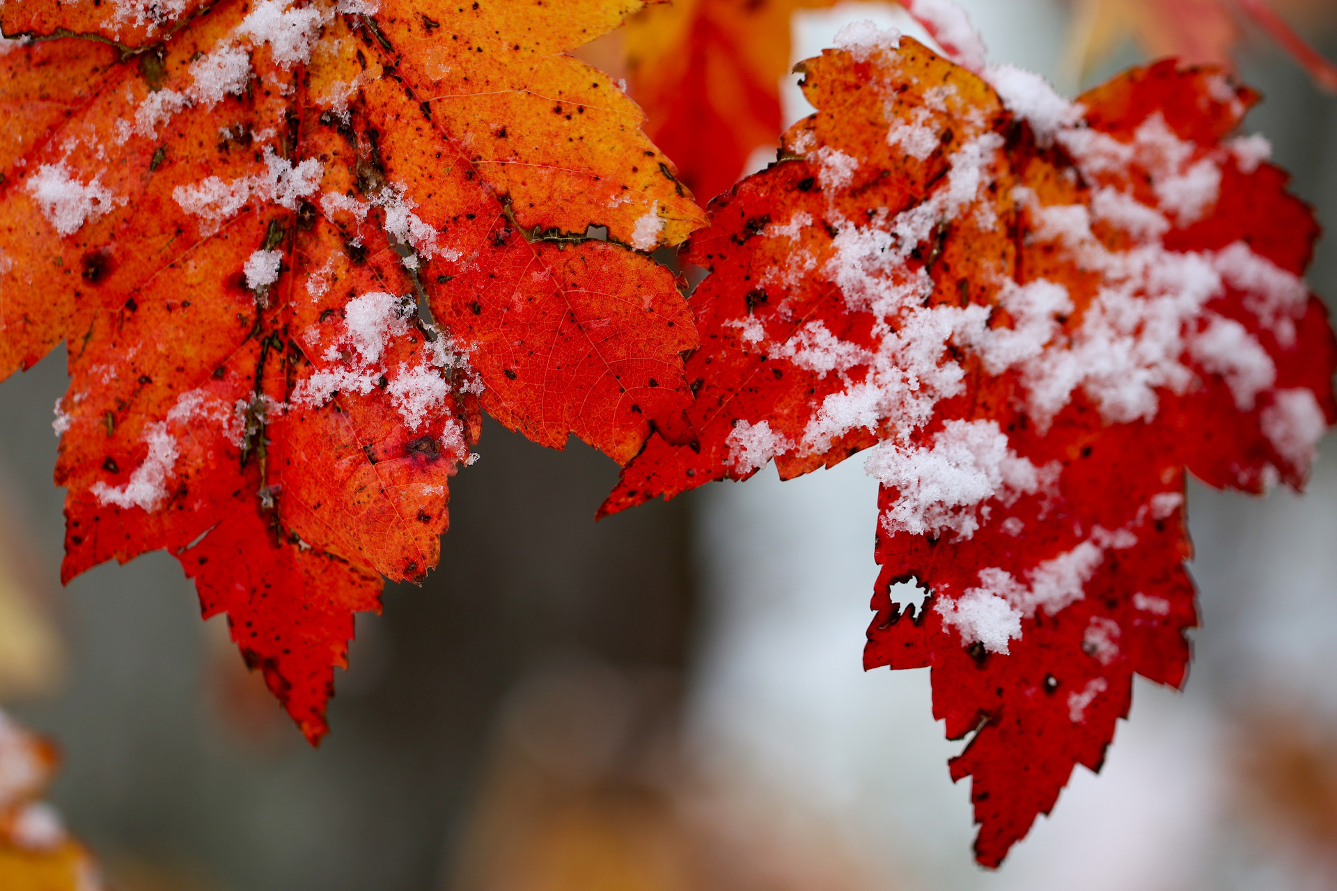 Snow on Red Maples