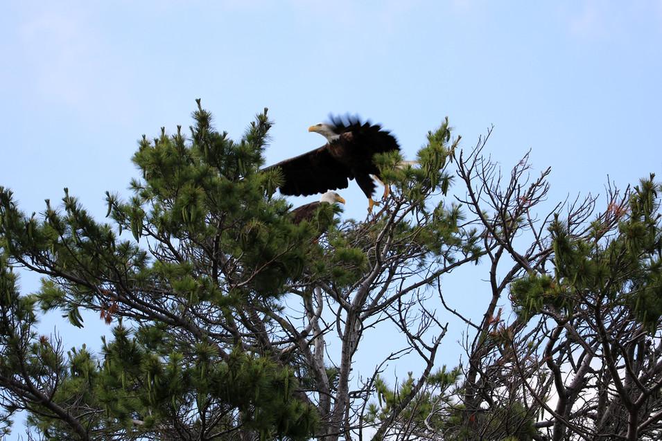 Bald Eagles III
