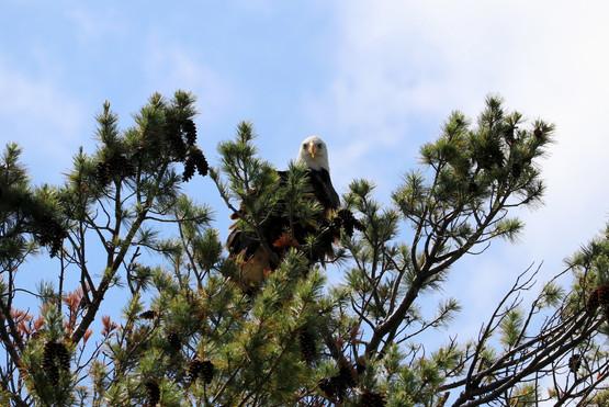 Bald Eagle on the shores of Lake Superior