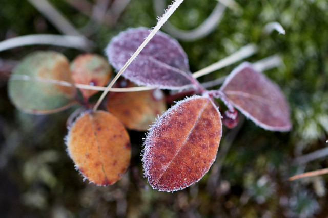 Frost Tipped Wintergreen