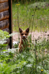 Young Fox around Whitefish Point