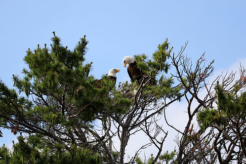 Blank Card with Envelope - Bald Eagle Mates