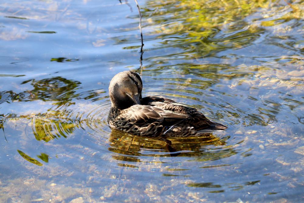 Mallard Duck - Lake Michigan