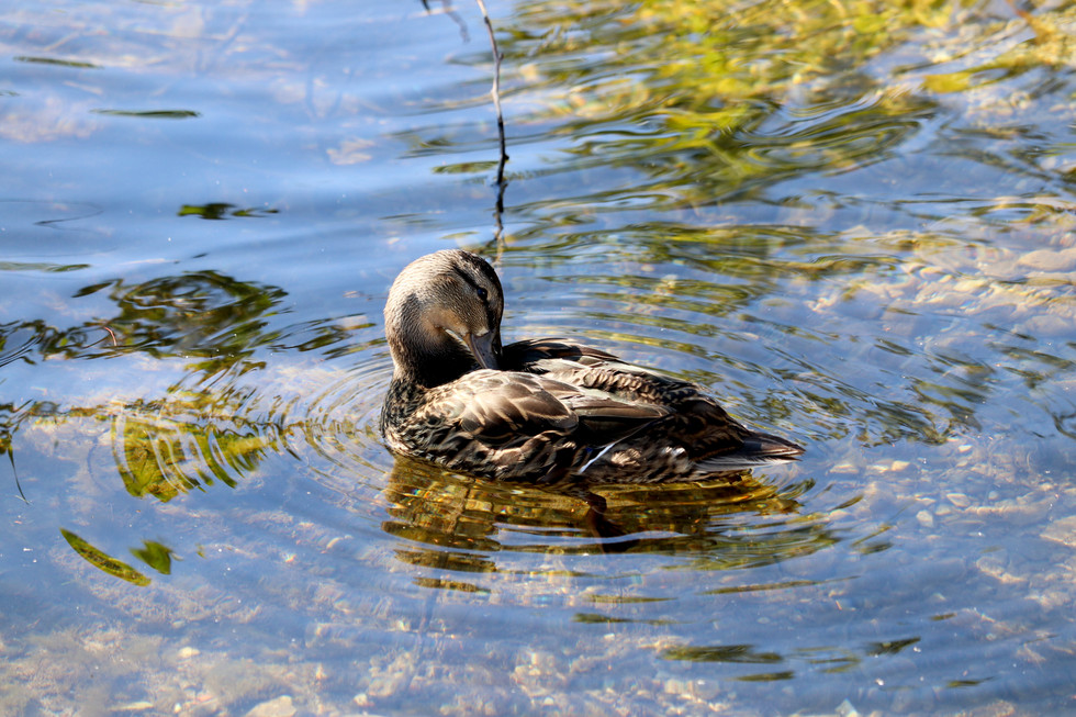 Mallard Duck - St. Helena Island
