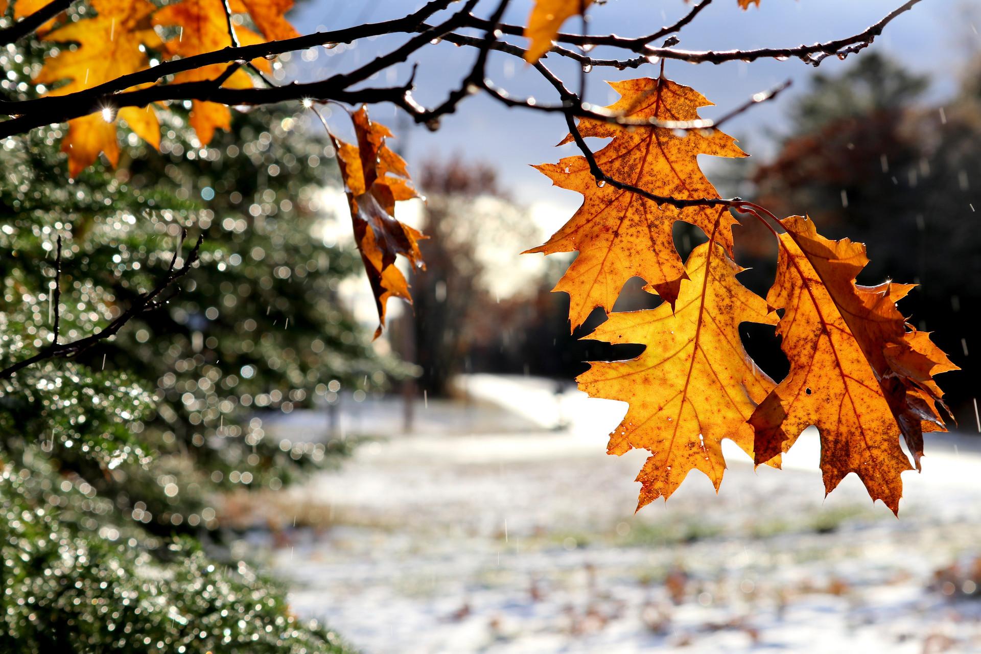 Oak Leaves in November