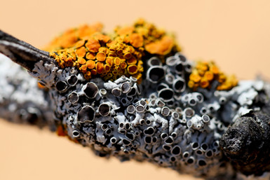 Lichens on Oak Branch