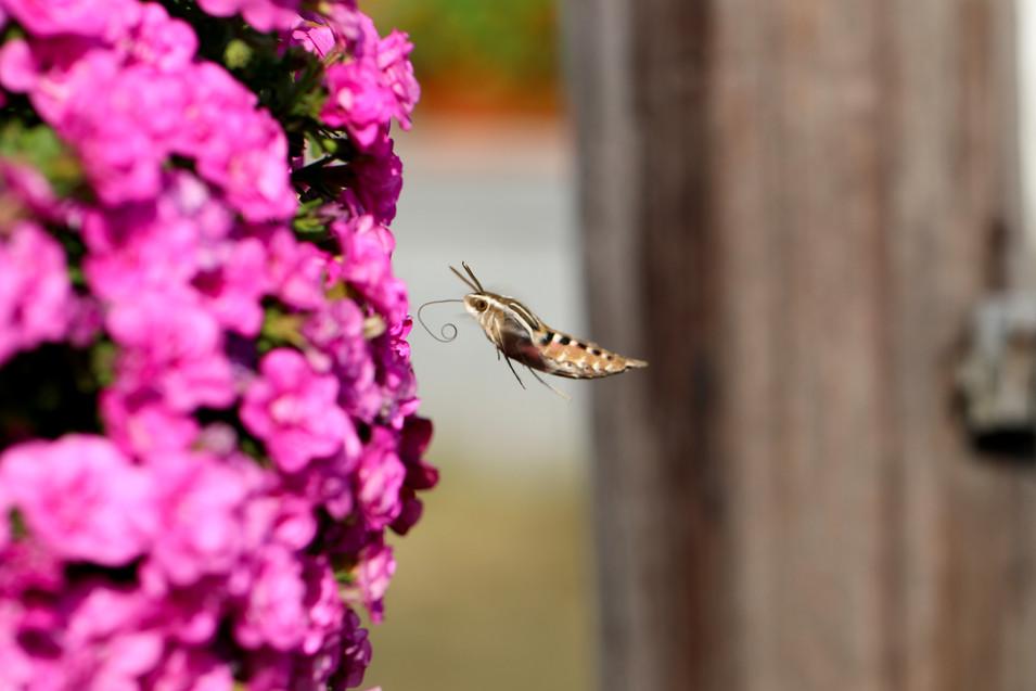 Hummingbird Moth III