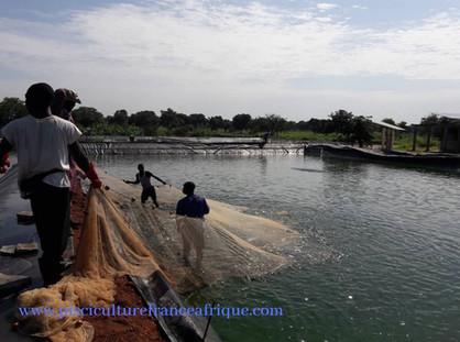 Tilapia, Pêche en étang, Pisciculture France Afrique
