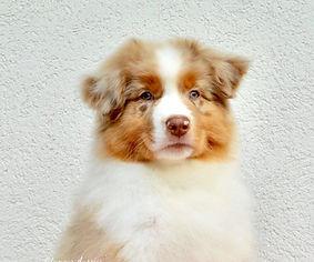 Glamour Aussies, Australian shepherd, ausztrál juhászkutya, aussie, dog dance, dog dance aussie