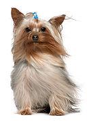 St. Louis Dog Walker