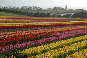 Tulip farm Tasmania