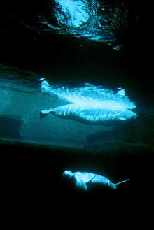 Baluga Whale